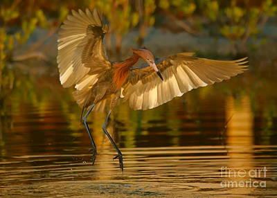Reddish Egret In Golden Sunlight Art Print