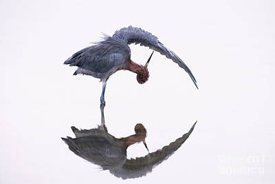 Reddish Egret Print by Marie Read