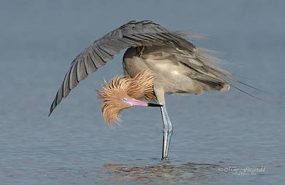 Photograph - Reddish Egret Preening by Mike Fitzgerald