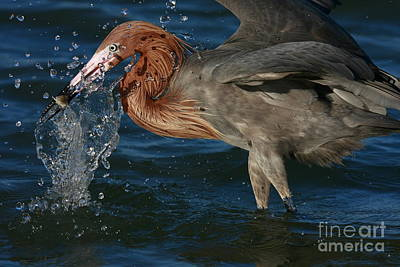 Photograph - Reddish Egret Splash by John F Tsumas