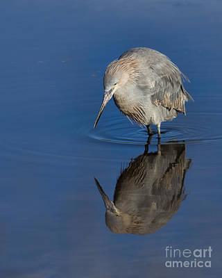 Shorebird Photograph - Reddish Egret by Twenty Two North Photography