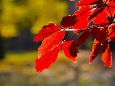 Photograph - Reddish Leaves  by Dragan Kudjerski
