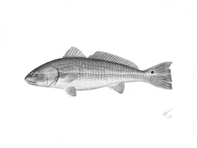 Drawing - Redfish - Scientific by Hayden Hammond