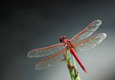 Metal Dragonfly Photograph - Redhead Close Up by Suzanne Gaff