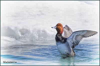 Photograph - Redhead Duck Bath by LeeAnn McLaneGoetz McLaneGoetzStudioLLCcom