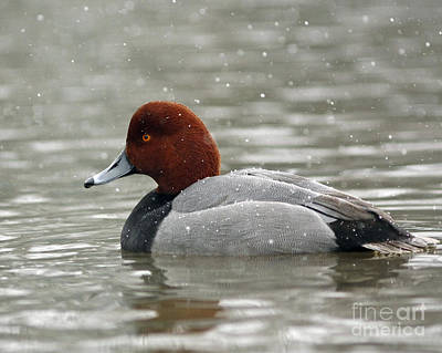 Redhead Duck In A Winter Snow Storm Art Print by Inspired Nature Photography Fine Art Photography