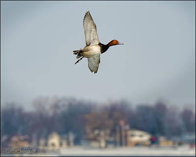 Photograph - Redhead Duck Over Harsens Island Michigan by LeeAnn McLaneGoetz McLaneGoetzStudioLLCcom