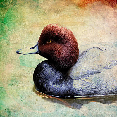 Photograph - Redhead Duck Paint by Steve McKinzie