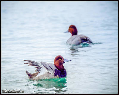 Photograph - Redhead Ducks by LeeAnn McLaneGoetz McLaneGoetzStudioLLCcom