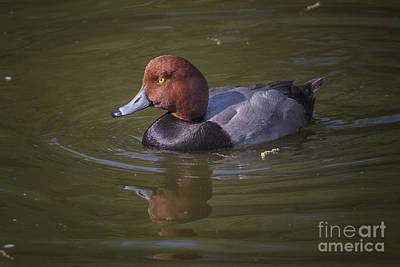 Photograph - Redhead by Ronald Lutz