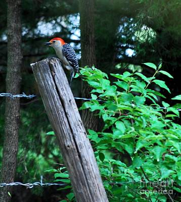 Photograph - Redheaded Woodpecker by Mark McReynolds