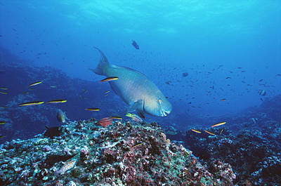 Parrotfish Photograph - Redlip Parrotfish And Coral Roca by Tui De Roy