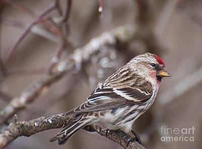 Photograph - Redpoll Finch by Bianca Nadeau