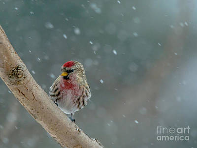 Photograph - Redpoll In The Snow by Cheryl Baxter