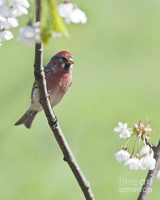 Photograph - Redpoll With Plum Blossom by Liz Leyden