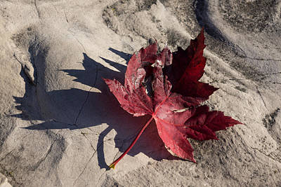 Photograph - Reds And Purples - Deep Red Maple Leaf And Its Shadow by Georgia Mizuleva