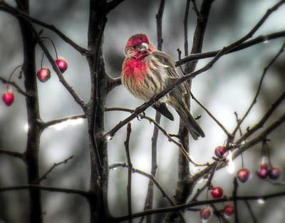 Finch Photograph - Reds Of Winter by Karen Wiles