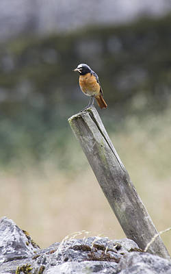 Photograph - Redstart On Post by Bob Kemp