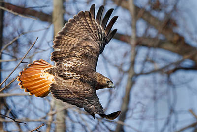 Tail Photograph - Redtail Hawk by Bill Wakeley