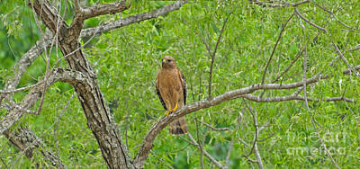Photograph - Red-shouldered Hawk by Donna Brown