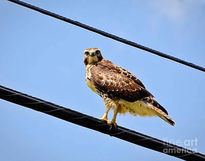 Photograph - Redtail Hawk II by John Waclo