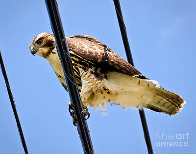 Photograph - Redtailed Hawk by John Waclo