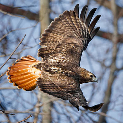 Redtail Hawk Photograph - Redtail Hawk Square by Bill Wakeley