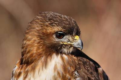 Photograph - Redtail Portrait by Mike Farslow