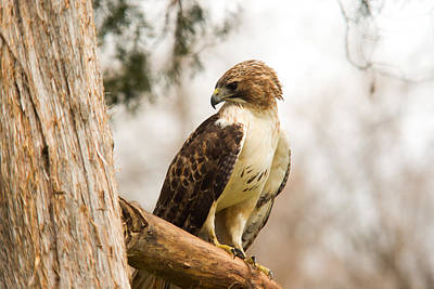 Thomas Kinkade Rights Managed Images - Redtailed Hawk 21 Royalty-Free Image by Douglas Barnett