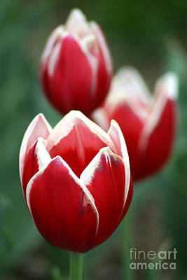 Gingrich Photograph - Redwhitetulips6838-1 by Gary Gingrich Galleries