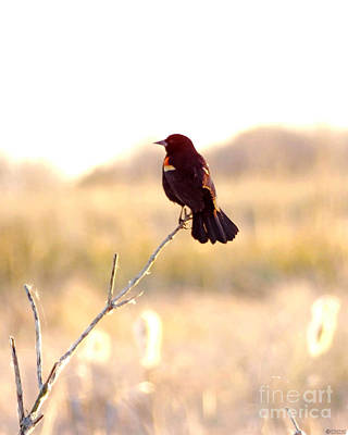 Photograph - Redwing At Lacassine Nwr by Lizi Beard-Ward