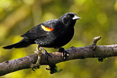 Photograph - Redwing Blackbird by Inge Riis McDonald