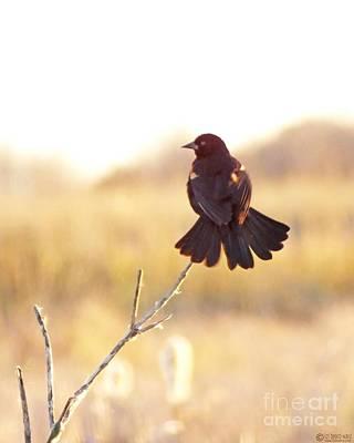 Photograph - Redwing Blackbird Lacassine Wildlife Refuge  by Lizi Beard-Ward