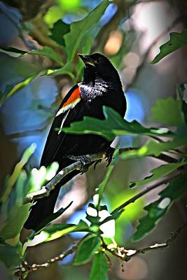 Redwing Blackbird On Alert Art Print