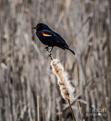 Photograph - Redwing Blackbird On Cat Tail by Grace Grogan