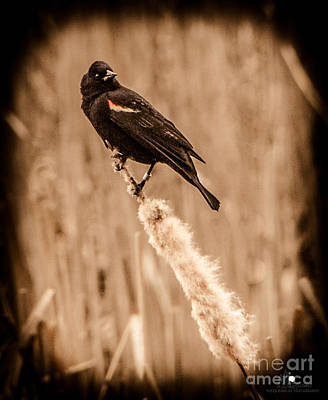 Photograph - Redwing Blackbird On Cattail by Grace Grogan