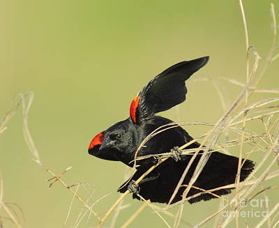 Red Wing Blackbird Photograph - Redwing In Grass by Robert Frederick