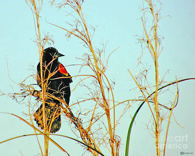 Photograph - Redwing Lacassine  by Lizi Beard-Ward
