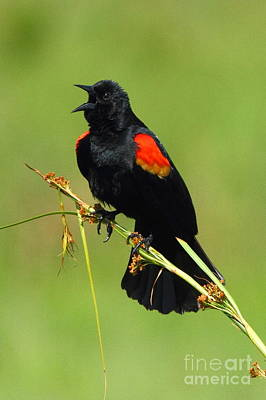 Photograph - Redwinged Blackbird Calling by Jennifer Zelik