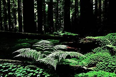 Photograph - Redwood Fern by Benjamin Yeager