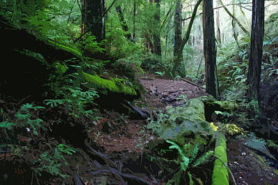 Photograph - Redwood Forest Scene 1 by Ben Upham III