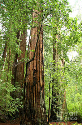 Photograph - Redwood Giants by Frank Townsley