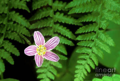 Photograph - Redwood Sorrel Wildflower Nestled In Ferns by Dave Welling