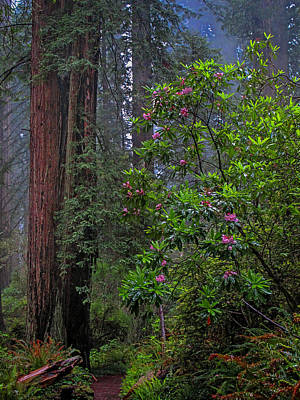 Photograph - Redwood Spring Morning 2013 by Ralph Nordstrom