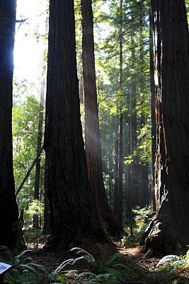 Photograph - Redwood Sun Rays  by Aidan Moran