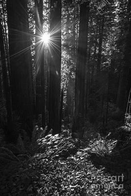 Photograph - Redwood Sunburst Monochrome by Vishwanath Bhat