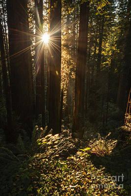 Photograph - Redwood Sunburst by Vishwanath Bhat