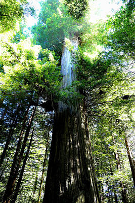 Photograph - Redwood Tree by Athena Mckinzie