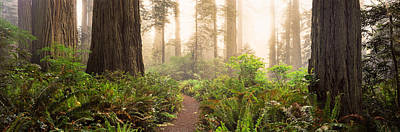 Redwood National Park Photograph - Redwood Trees In A Forest, Redwood by Panoramic Images