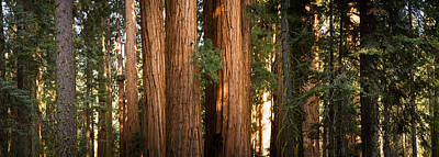 Redwood Trees In A Forest, Sequoia Art Print